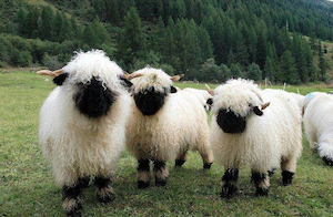 valais_sheep_300