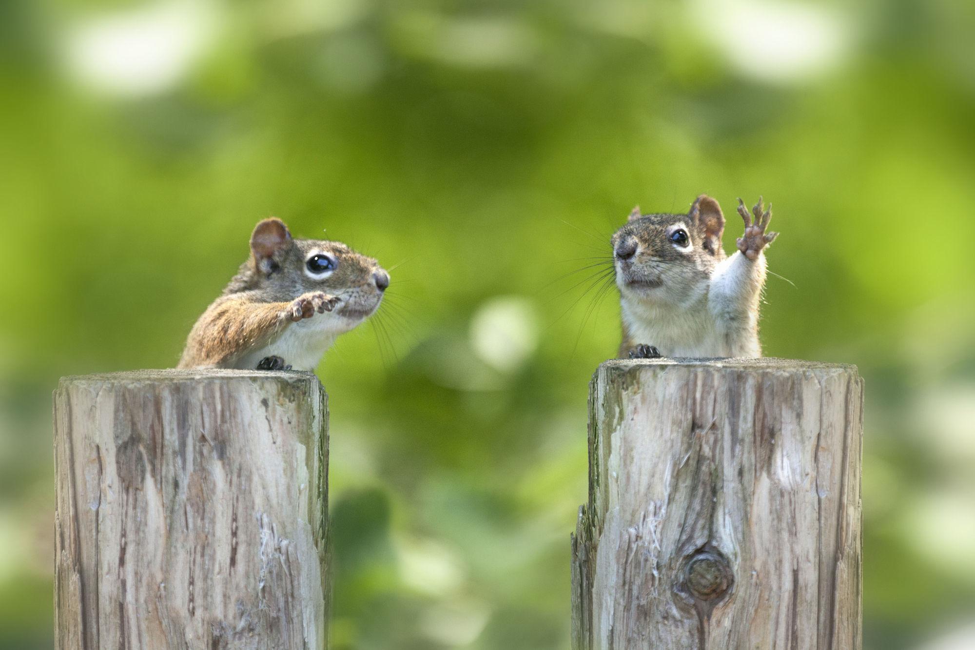 waving squirrels links