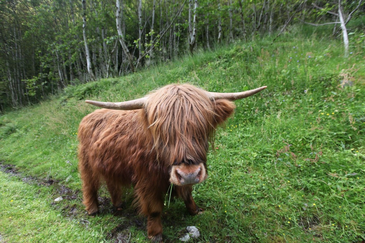 yak like iceland critter links