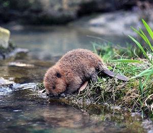 baby_beaver_300
