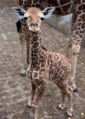giraffe_300