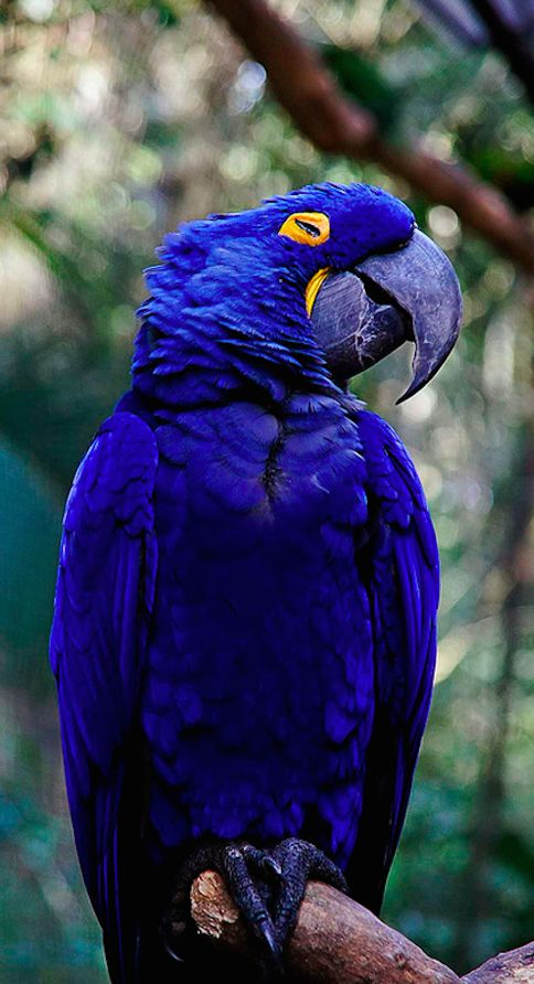 hyacinth_macaw-links