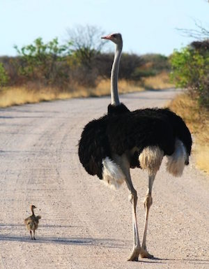 ostrich_300