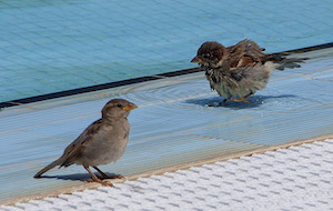 sparrows_300