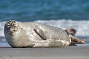 common_seal_phoca_vitulina