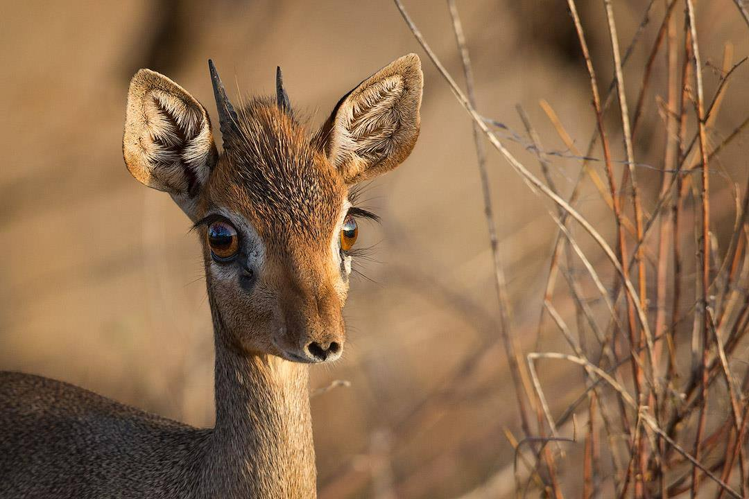 dik-dik-kenya-links