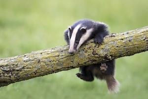 badger_300