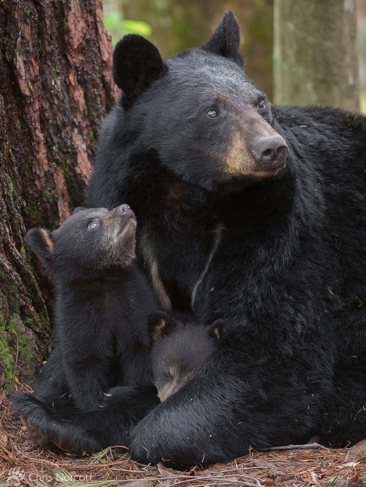 bear-family-links