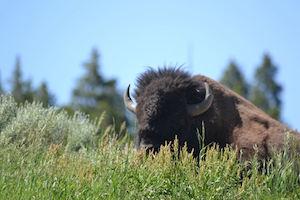 bison_300
