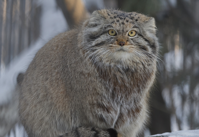 pallas-cats-links