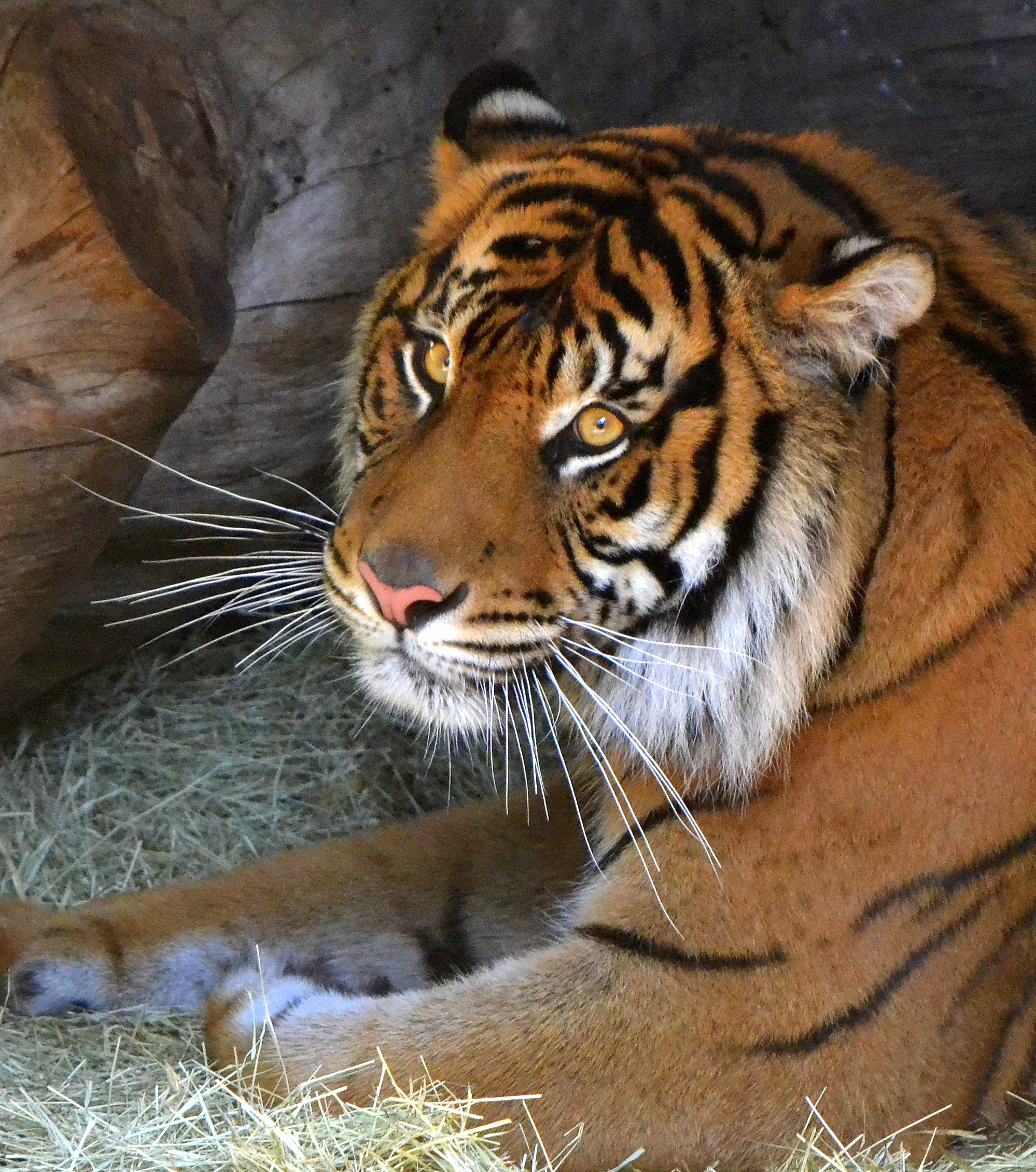 pretty-tiger-links