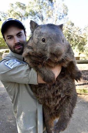wombat_300
