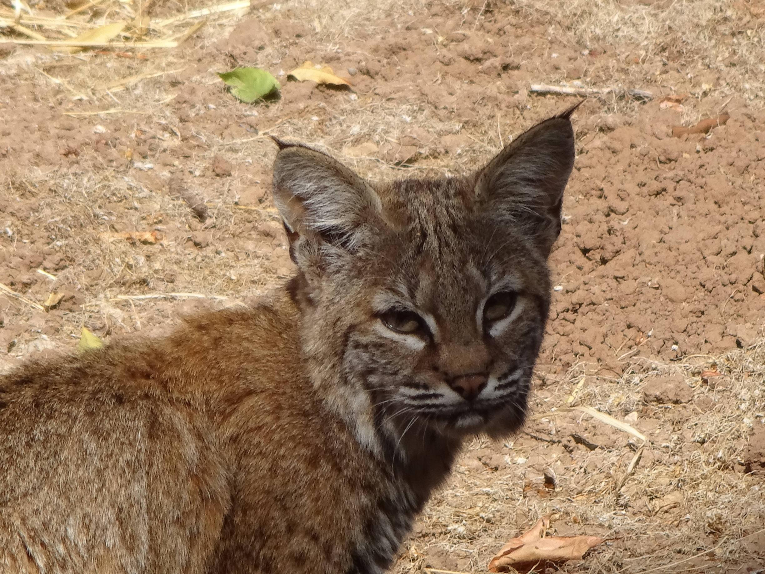 young_bobcat links