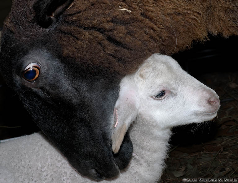 black ewe and white lamb links