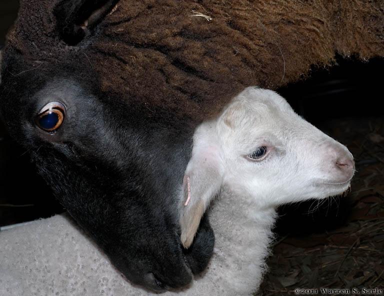black ewe and white lamb links