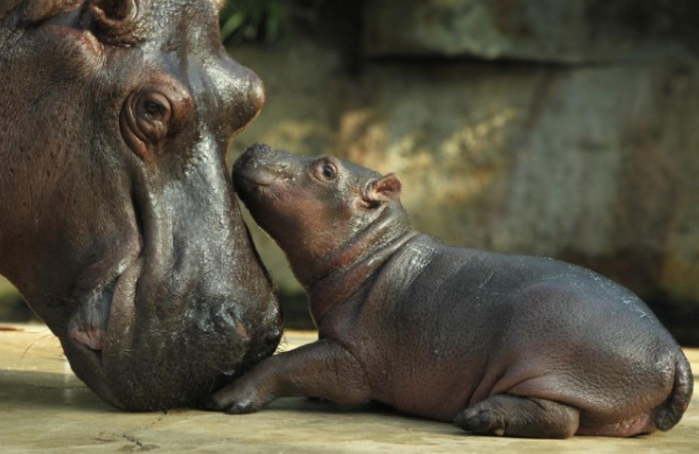 hippos links