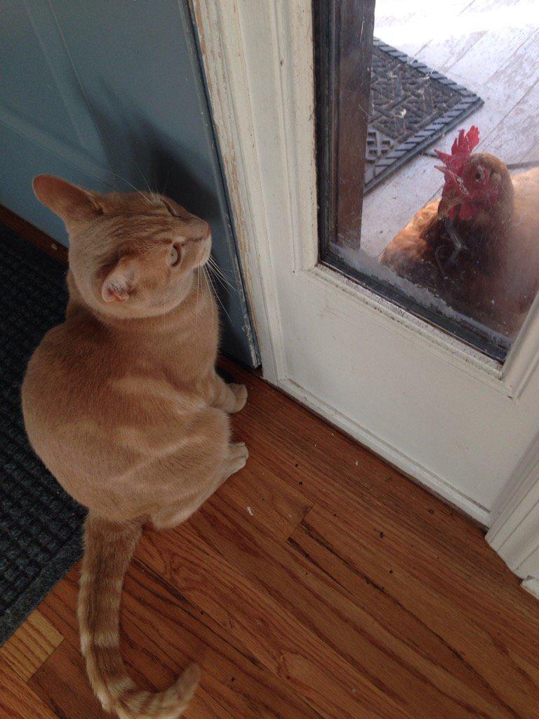 cat-chicken-staredown-links