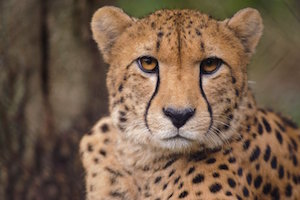 cheetah_300