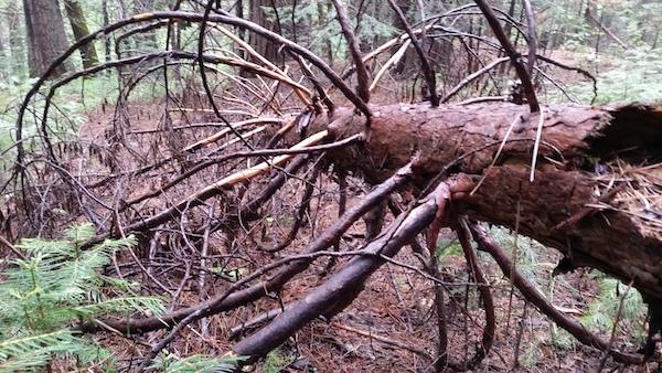 fallen_tree
