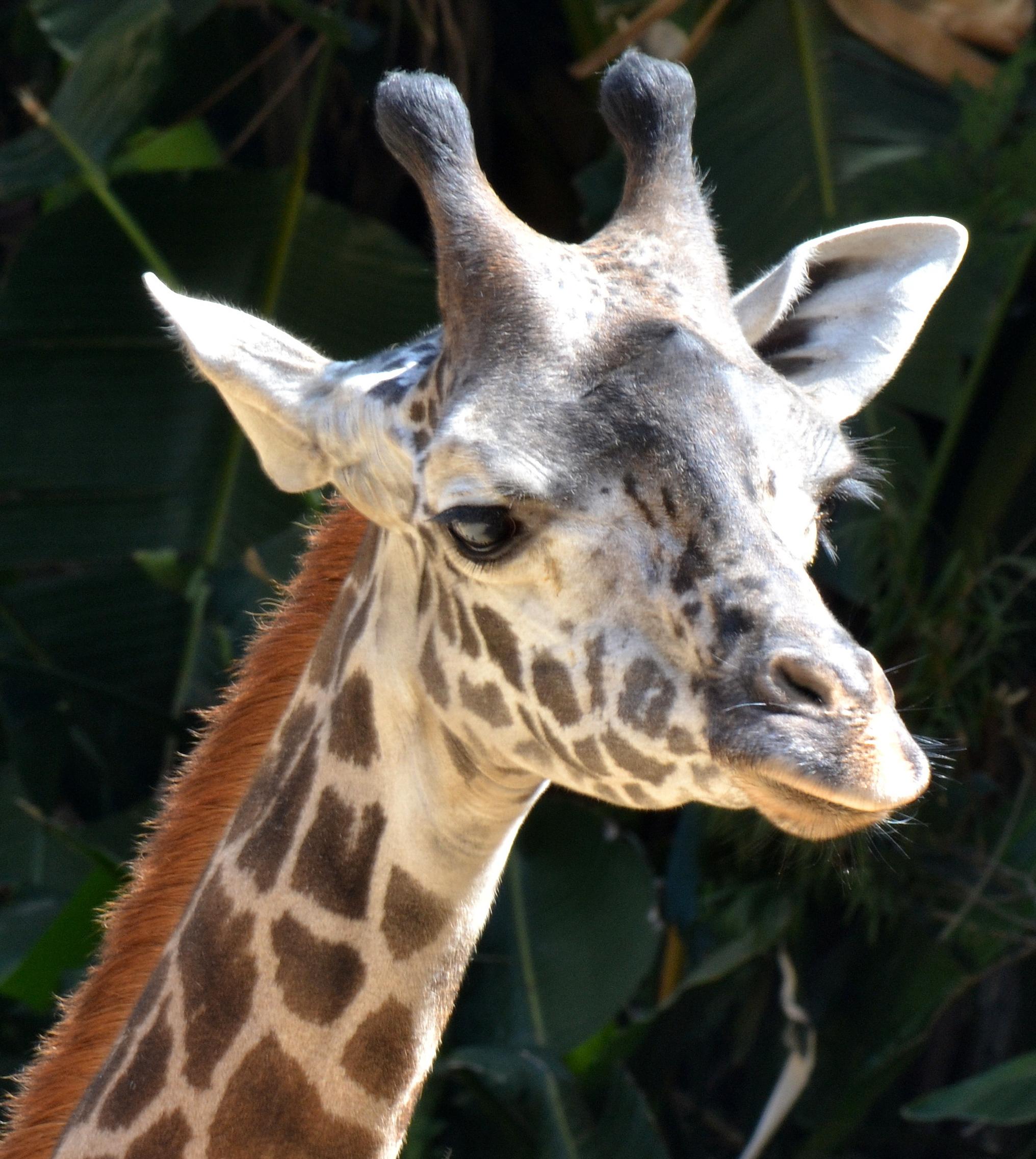 giraffe-links
