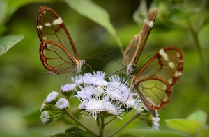 glasswing_300