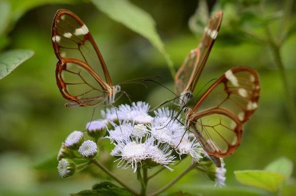 glasswings