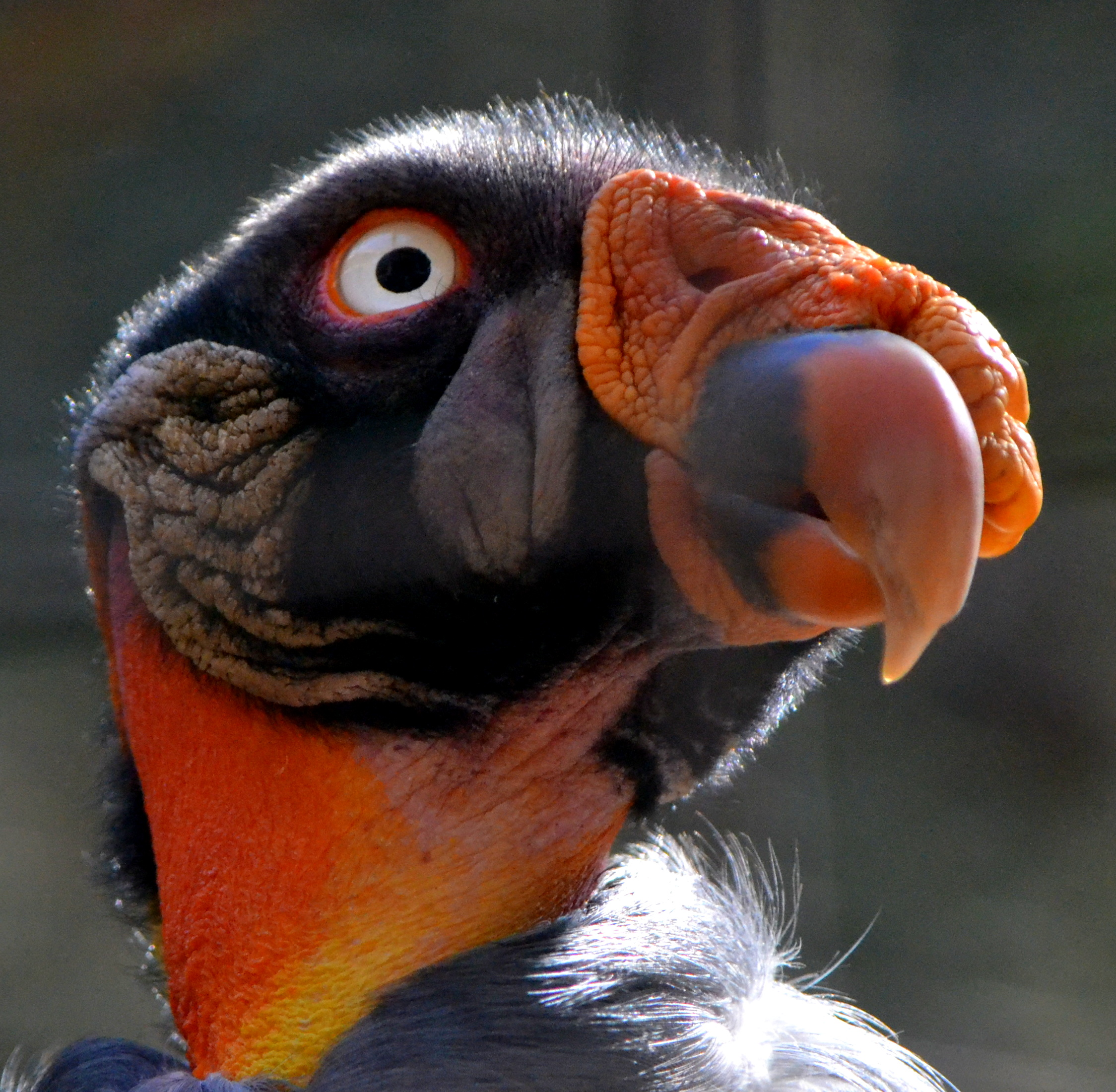 king-vulture-links