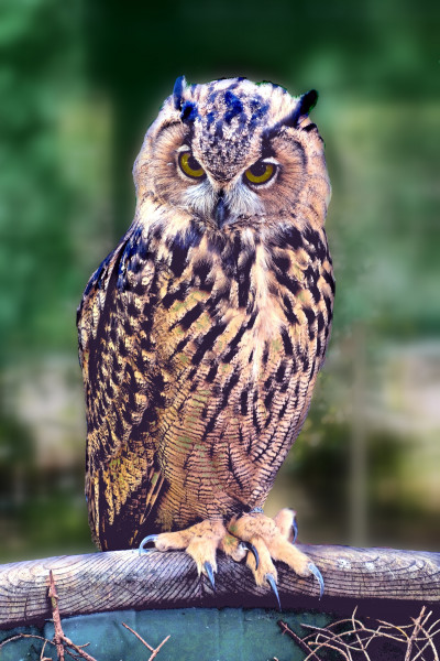 sowa_bird_pharaoh_eagle_owl