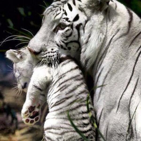 white_tiger_2