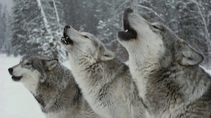 wolves_300