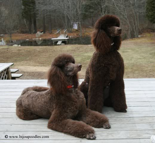 pretty posing poodles links