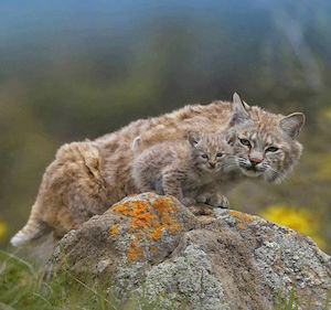 bobcat_300