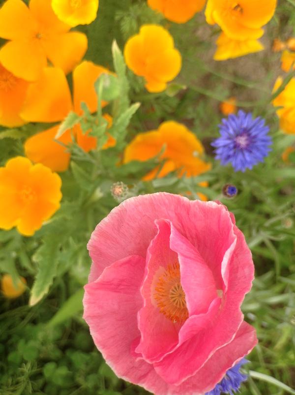 poppy_3