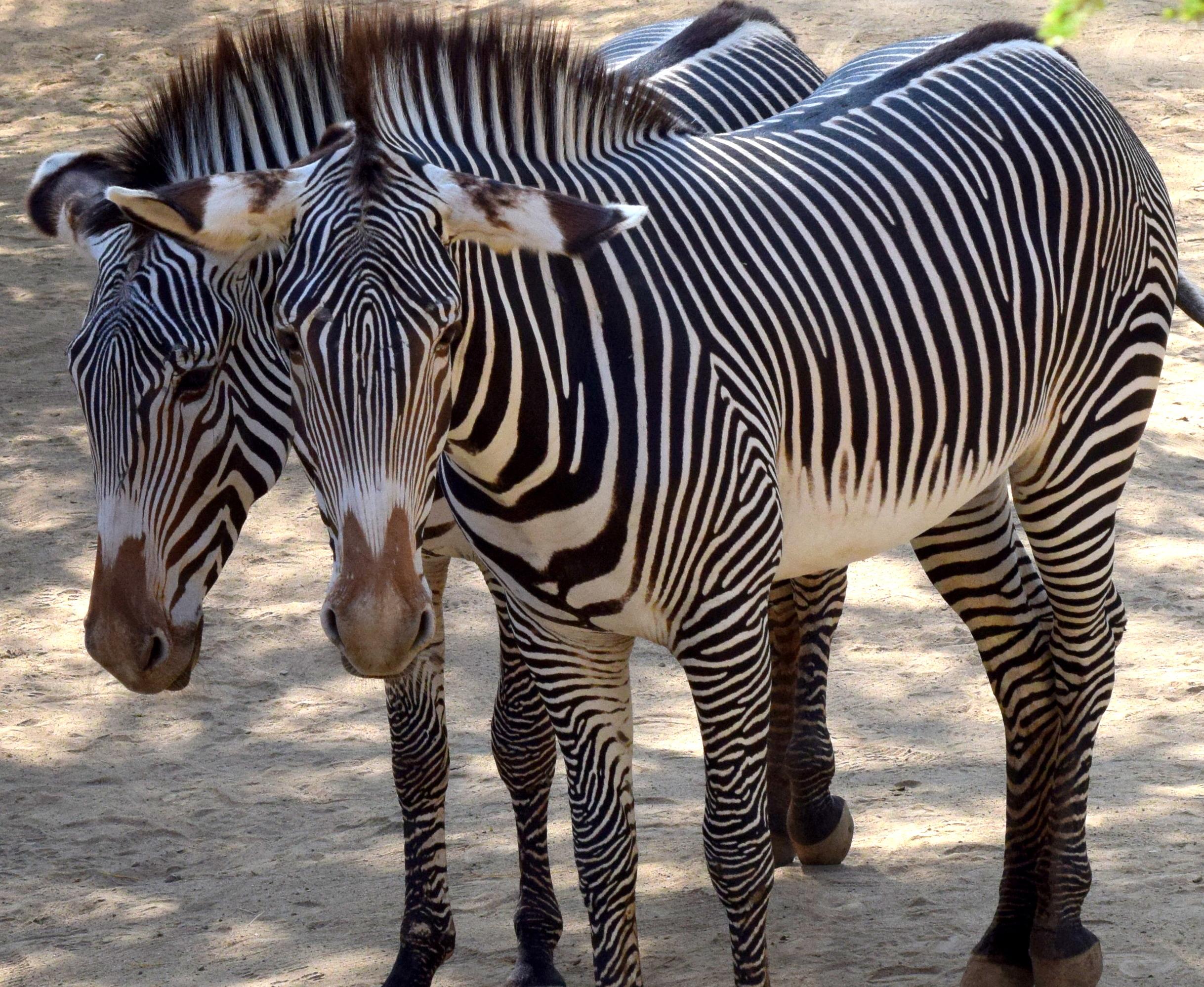 zebras-links