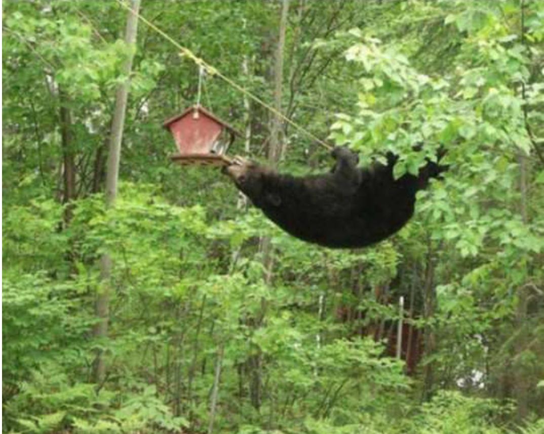 bear antics links