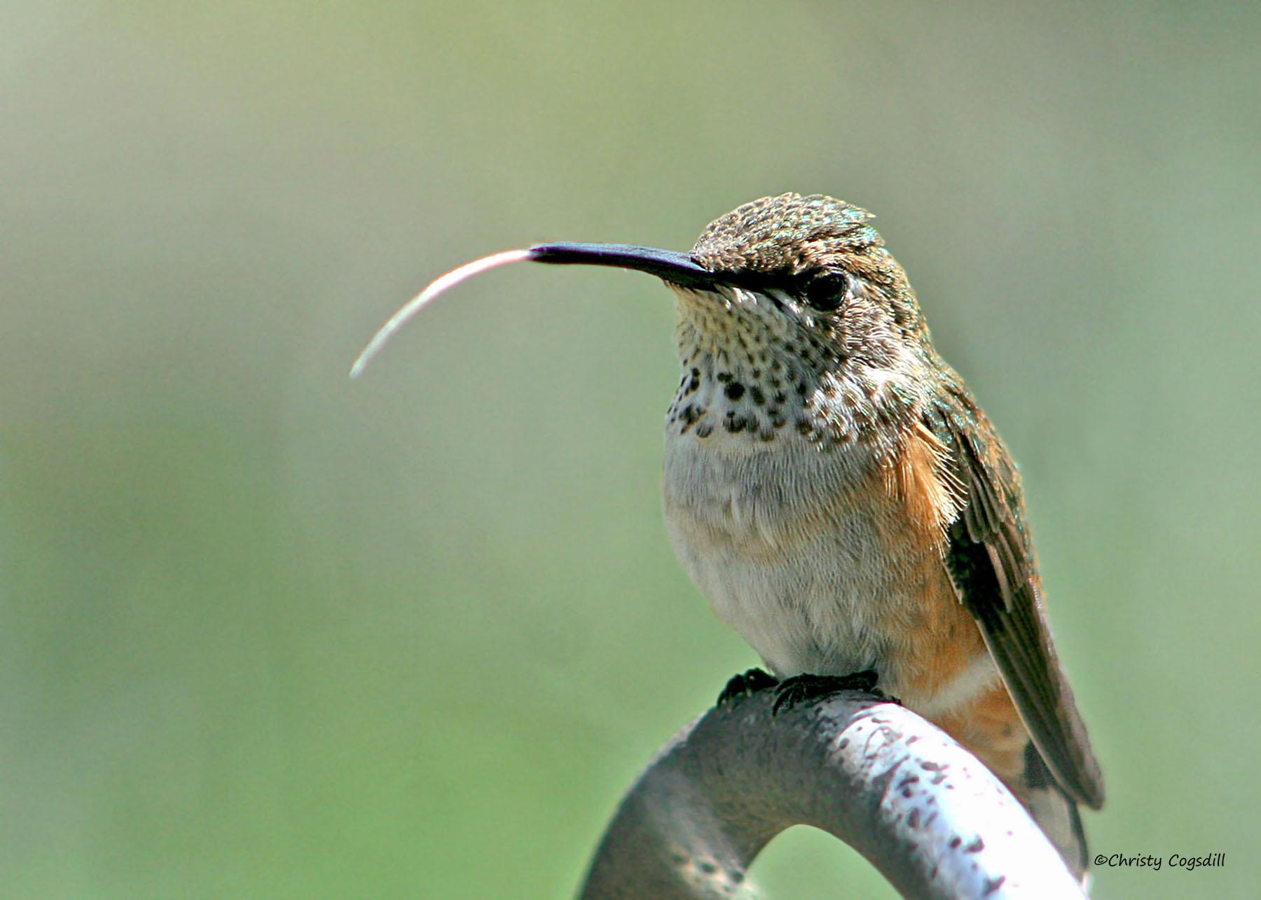 hummingbird links