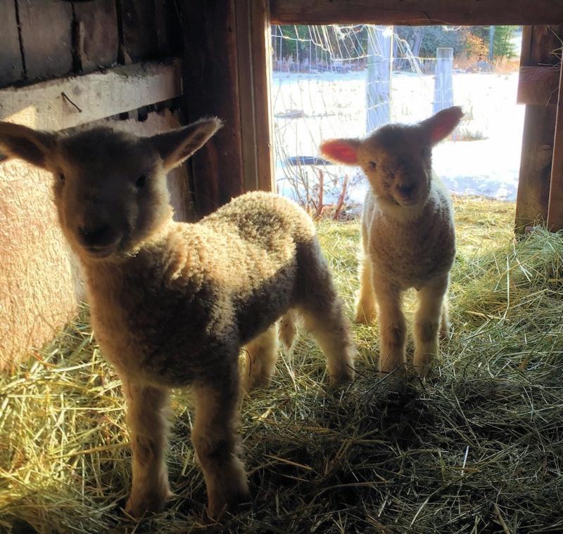 cute lambs links