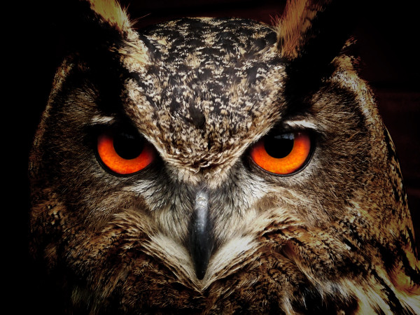owl_bird_eyes