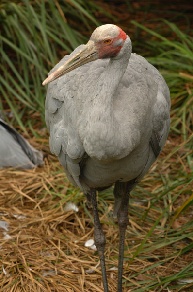 brolga_bird_nature