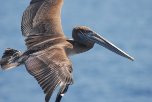 brown_pelican_bird_sea
