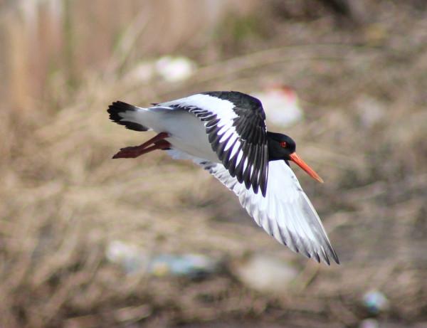 haematopus_ostralegus_bird_flight