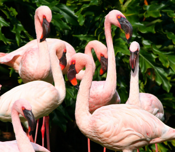 pink_flamingos_water_birds_fowl