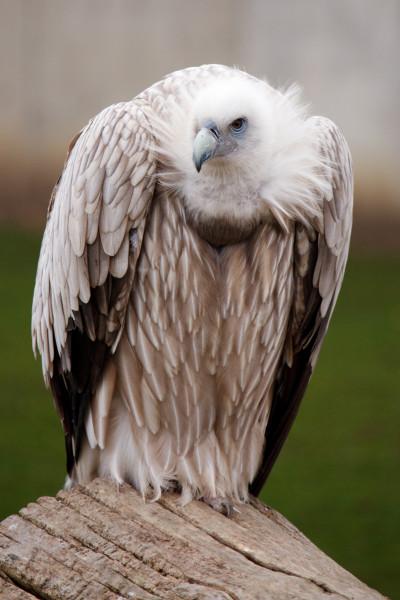 vulture_bird_194314