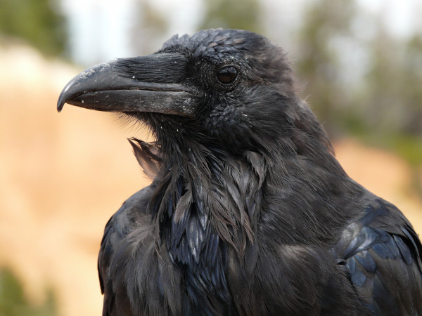 raven_bird_birds