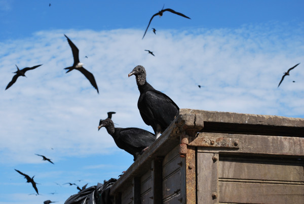 ecuador_black_vulture_birds