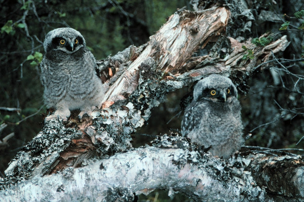 northern_hawk_owl_owls_bird