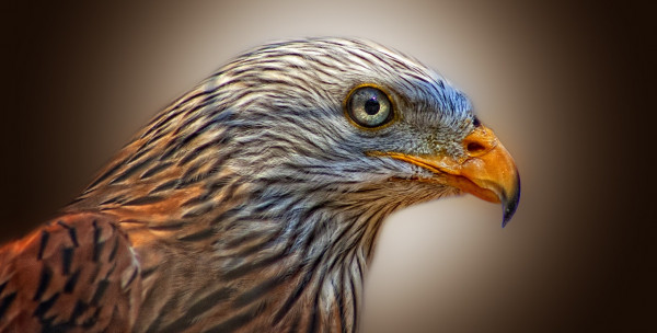 red_kite_bird_of_prey_milan