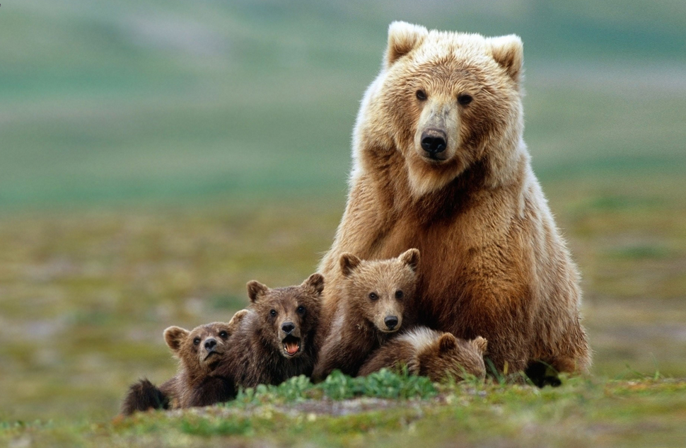 bear and cubs links