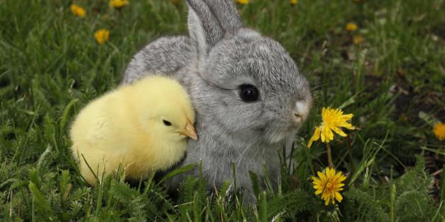 Gray rabbit bunny baby and yellow chick links