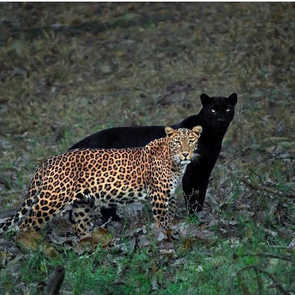 big_cats.jpeg